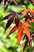 Sublimely elegant maroon-purple leaves of a Japanese maple Acer palmatum 'Atropurpureum', glowing transparent orange when backlit by sunlight as seen here.<br />