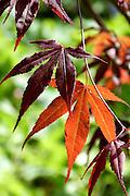 Sublimely elegant maroon-purple leaves of a Japanese maple Acer palmatum 'Atropurpureum', glowing transparent orange when backlit by sunlight as seen here.<br /> <br /> Date taken: 27 April 2014.