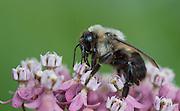 Bumble bee; Bombus; on swamp milkweed; PA, Philadelphia, Morris Arboretum