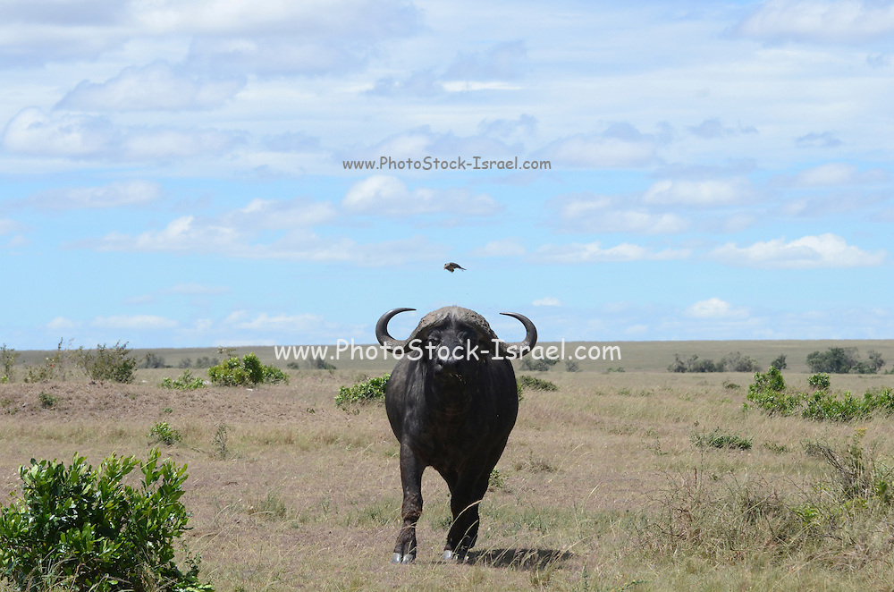 Kenya, Masai Mara,African Buffalo AKA Cape Buffalo (Syncerus caffer)