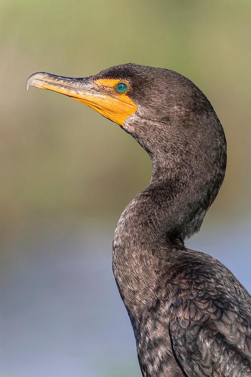 Double-crested Cormorant - Phalacrocorax auritis