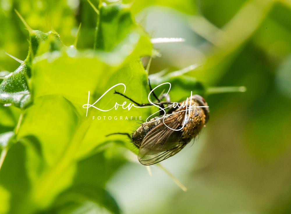 HALFWEG - insecten op de golfbaan , stalvlieg Stomoxys calcitrans , Amsterdamse Golf Club. (AGC)  . Insecteninventarisatie  COPYRIGHT KOEN SUYK