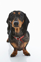 Dachshund Wearing Red Collar