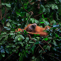 A baby orangutan wakes up in its nest, Gunung Leuser National Park, Indonesia, 2015