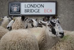 © licensed to London News Pictures. London, UK 29/09/2013. A flock of sheep being driven across London Bridge by The Worshipful Company of Woolmen in a charity event with six hundred freemen, friends and families on Sunday, 29 September 2013. Photo credit: Tolga Akmen/LNP