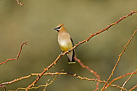 A Cedar Waxwing perched on a rose bush thorn branch.