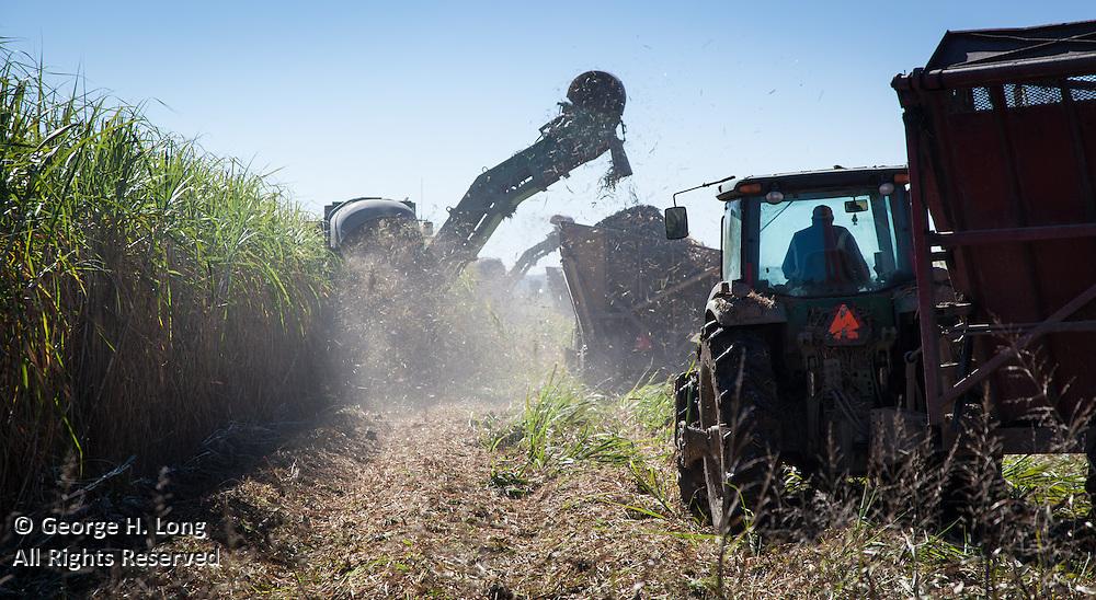 Harvesting sugar cane
