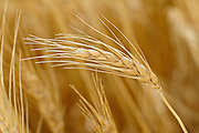Wheat closeup <br /> Yorkton<br /> Saskatchewan<br /> Canada