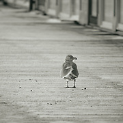 Seagull walking on snowy boardwalk - Foss Waterway, Tacoma, WA