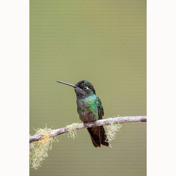 Magnificent Hummingbird (Eugenes fulgens) perched on branch at San Gerardo De Dota, Costa Rica, March, 2014.