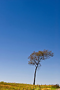 A lone tall tree in the Texas Hill Country