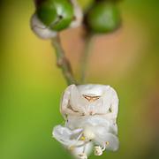 Perfect camoflague. Misumena genus, Thomisidae, white flower crab spider. Chalerm Phrakiat Thai Prachan National Park, Thailand,