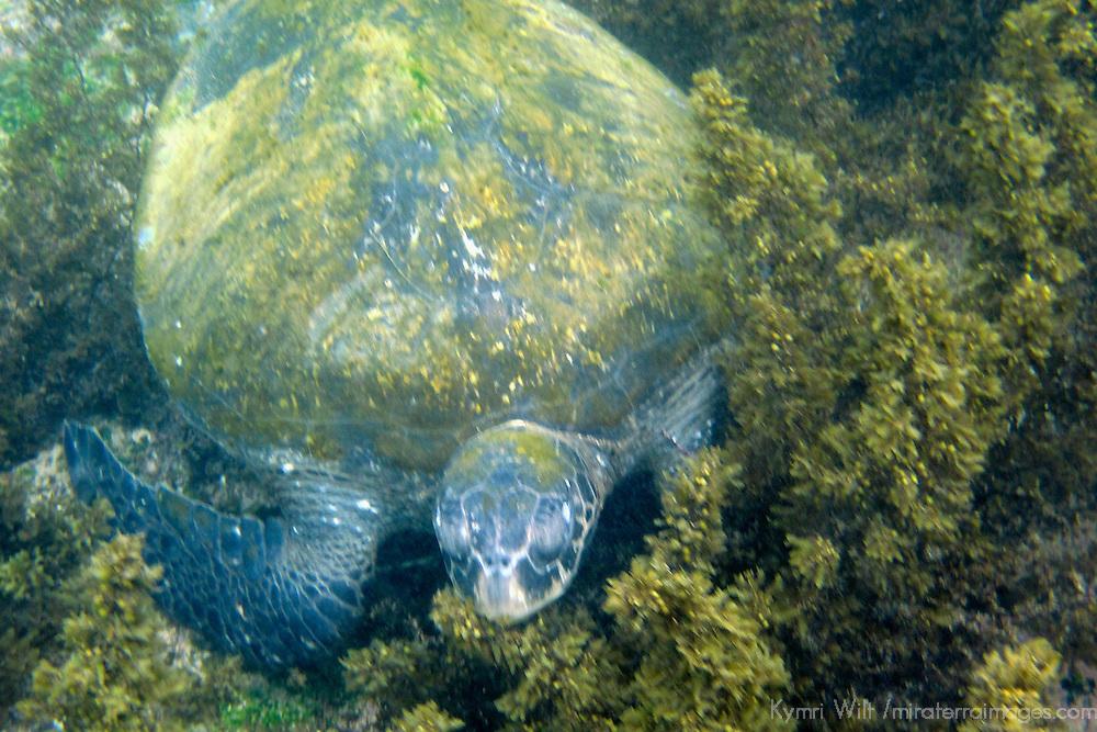 South America, Ecuador, Galapagos Islands. Galapagos Green Sea Turtle.