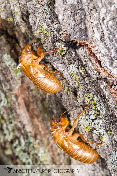 Cassini Periodical cicada (Magicicada cassini) - exuviae<br /> IOWA: Decatur Co.<br /> Decatur Rest Area, Slip Bluff County Park<br /> Burrell off I-35, 40.656953, -93.853514<br /> J.C. Abbott #2664 &amp; K.K. Abbott