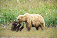 Grizzly Bear Family Play Fighting, Lake Clark National Park, Alaska