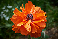 Orange poppy flower. Backyard spring nature in New Jersey. Image taken with a Fuji X-T1 camera and 60 mm f/2.4 macro lens (ISO 200, 60 mm, f/8, 1/250 sec).
