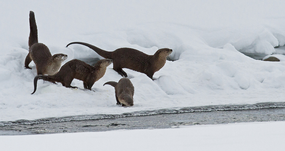 River otters are active all year, even during the frigid Yellowstone winter. Otters seem to play much more frequently than other animals, and can often be seen wrestling, chasing each other, and sliding on the snow and ice.
