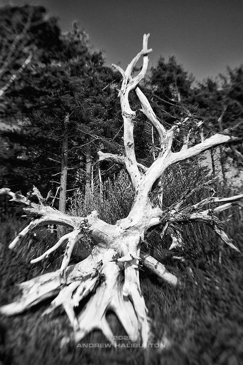 Bleached root structure of dead pine tree toppled by dune erosion, Cape Lookout State Park, Tillamook, Oregon.