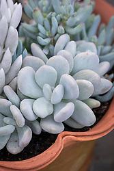 Pachyphytum bracteosum in a terracotta pot.