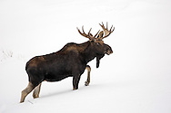 A young bull moose travels through knee-deep snow in search of his next meal. During winter,  moose spend most of the day resting, but are often visible  as they forage for twigs and sticks under the snow.
