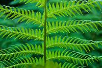 A fern in the Golden Gate Park Botanical Gardens, San Fransisco, California, USA