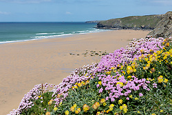 "© Licensed to London News Pictures. 11/05/2020. Newquay, UK. Kidney Vetch and Sea Thrift flowers are seen atop the cliff at Watergate Bay beach on the North coast of Cornwall, the day after British Prime Minister Boris Johnson announced a 'road map' to lift lockdown restrictions due to Covid-19, (Coronavirus). A rise in ""staycations"" - the concept of holidaying in your home country rather than travelling abroad - is expected, with many visitors planning to visit Cornwall. However, an ongoing campaign titled ""#ComeBackLater"" is trying to persuade tourists not to visit the county until it is safe to do so. Photo credit : Tom Nicholson/LNP"