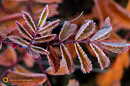 Frost on rose hips in Glacier National Park, Montana, USA