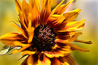A sunflower gently caressed by a breeze.