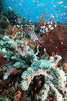 Lionfish and Anthias..Shot In Indonesia