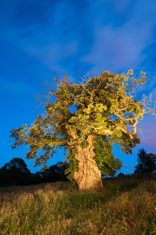 Queen Mary's Tree, Cumbernauld, Scottish Tree of the Year 2014 Finalist