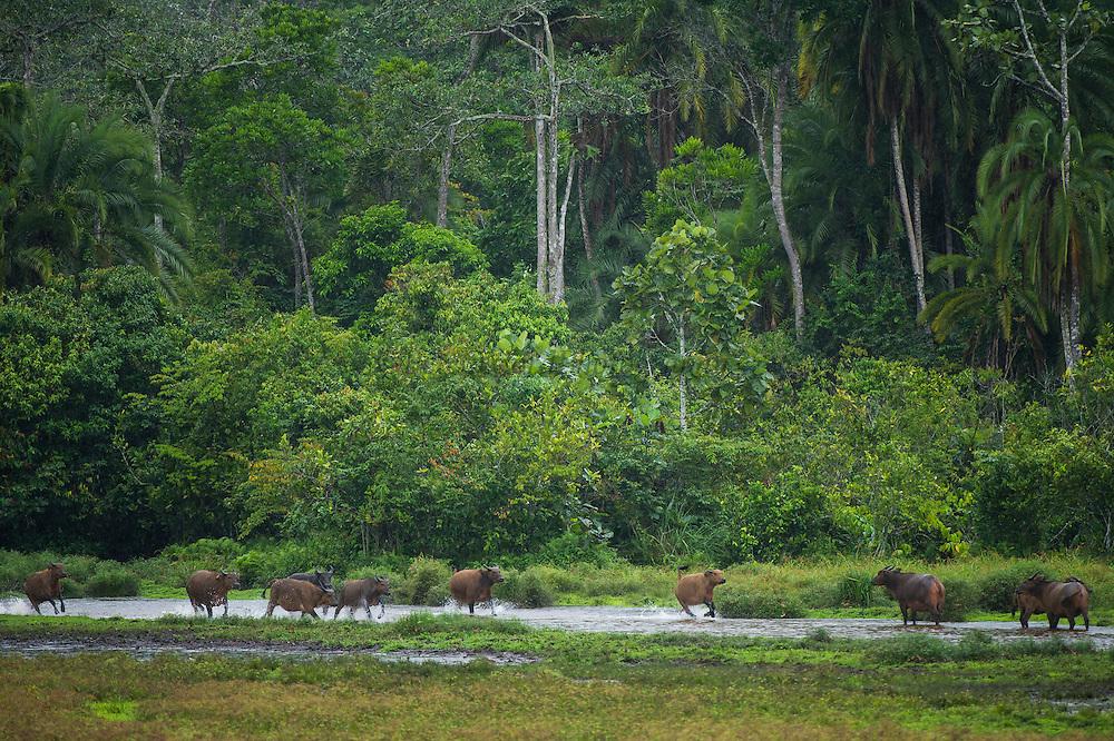 Forest buffalo (Syncerus nanus)<br /> Lango Bai<br /> Republic of Congo (Congo - Brazzaville)<br /> AFRICA<br /> Range: West African Savannah