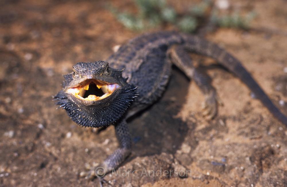 Bearded Dragon, Pogona vitticeps, in aggressive threat posture, Australia.