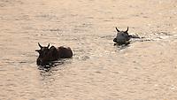 Cows swimming across a river, Bardiya National Park, Nepal
