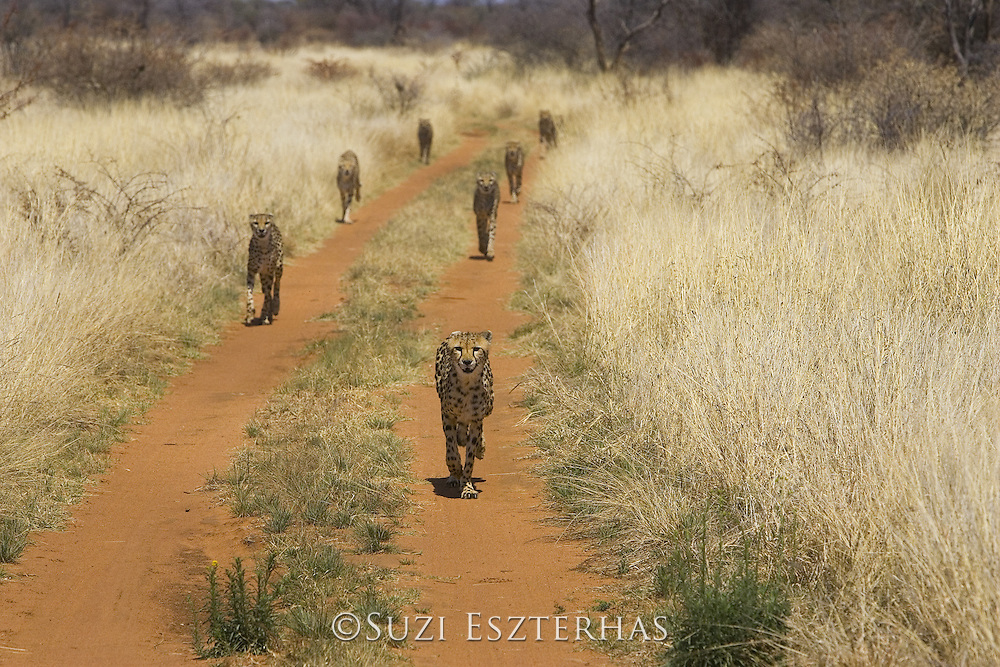 Cheetah<br /> Acinonyx jubatus<br /> Cheetahs (rescued from traps on livestock farms) running on road at mealtime<br /> Cheetah Conservation Fund, Namibia<br /> *Captive