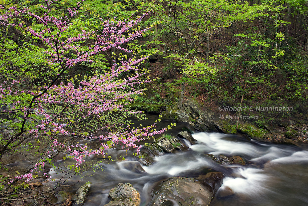 Lush, verdant greens and pinks alongside the Little River, Great Smoky Mountains National Park, Tennessee, USA. Redbuds are also known as the Judas Tree, as the betrayer of Jesus Christ was reported to have hanged himself from a Eurasian Redbud.