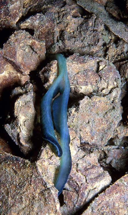 Green Spoonworm (Bonellia viridis). Location: Stavanger, Norway