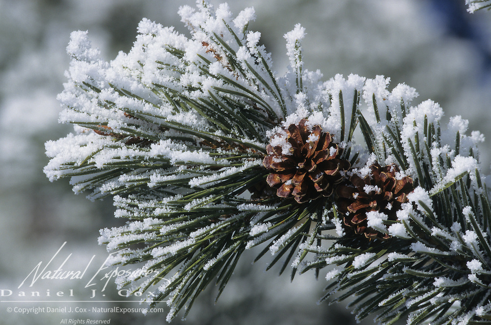 Douglas Fir pine cones covered with snow. Yellowstone National Park, Wyoming