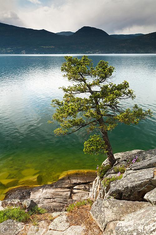 A Ponderosa Pine (Pinus ponderosa) grows on the edge of Okanagan Lake in Ellison Provincial Park - Vernon, British Columbia, Canada