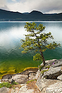 A Ponderosa Pine (Pinus ponderosa) grows on the edge of Okanagan Lake in Ellison Provincial Park - Vernon, British Columbia, Canada
