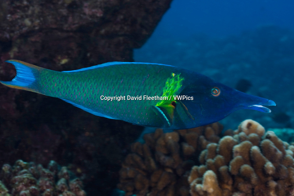 The bird wrasse, Gomphosus varius, is easily identified by it's long curved snout.  This individual is a terminal male. Hawaii.