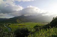 The kalo lo'i, flooded taro fileds, along highway 560, North Kauai