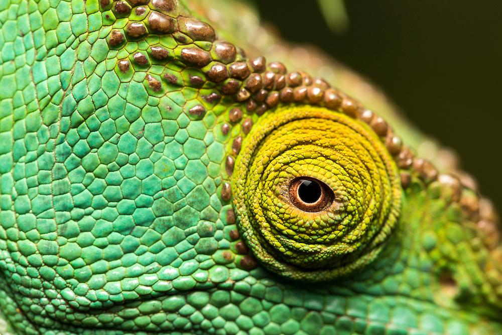 Africa, Madagascar, Close-up of captive Parson's Chameleon (Calumma parsonii) at private reserve near Andasibe-Mantadia National Park