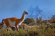 Guanaco in Torres del Paine, Chile