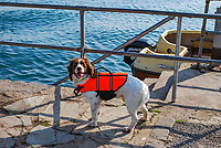 Ready for a day's sailing a dog, complete with life jacket, waits on the quayside at Strangford, Co Down, N Ireland, UK, 200809271501.