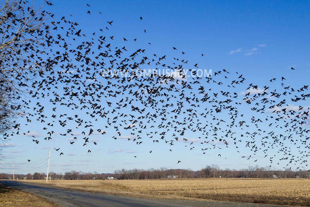 Wawayanda, New York - A large flock of red-winged blackbirds flies over fields near Onion Avenue on March 2, 2016.