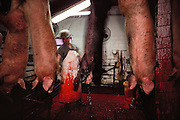 Pigs/Swine/Hog: Oscar Mayer Company slaughterhouse in Perry, Iowa. After the hogs are stunned and hung upside down, this man slits their throats. USA.
