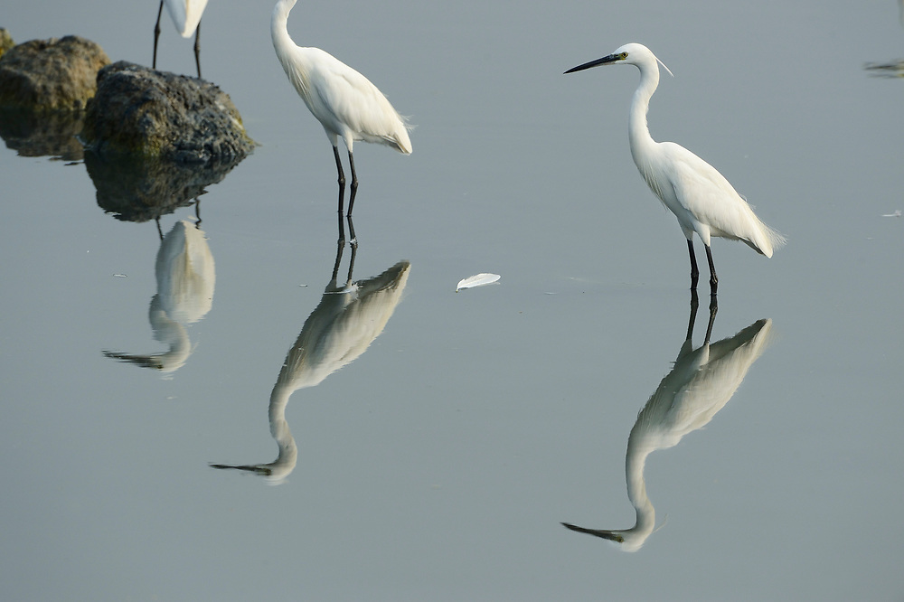 Great white egret, Casmerodius albus, Little egret, Egretta garzetta, Pulicat Lake, Tamil Nadu, India