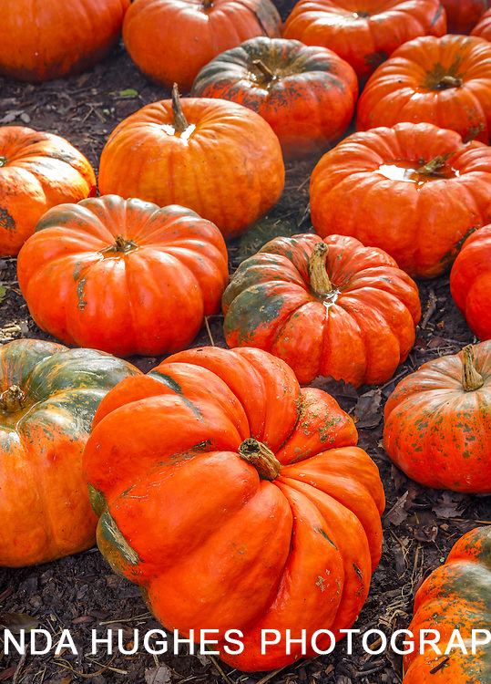 Large Autumn Pumpkins