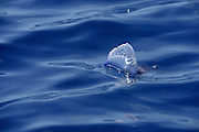 Portuguese Man-of-War<br />