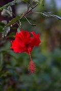 Red Hibiscus flower, Hawaii